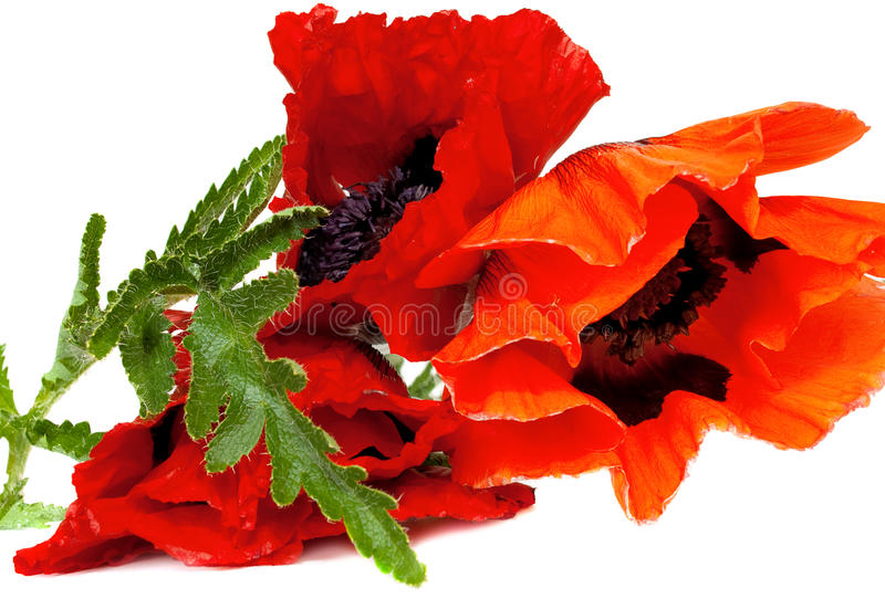 Download Beautiful poppy flowers stock photo. Image of color, bloom - 25008426