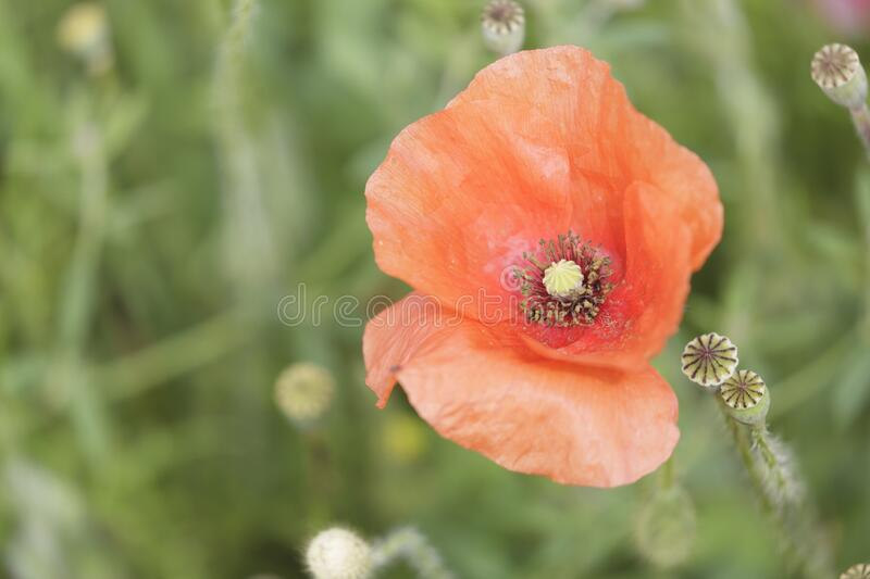 A beautiful poppy in full bloom royalty free stock image