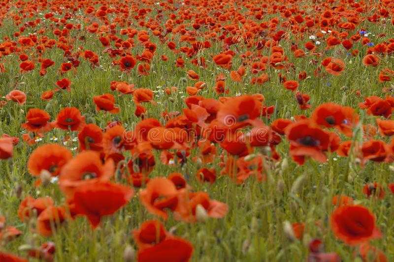 Beautiful red poppy`s field in summer time. royalty free stock photo