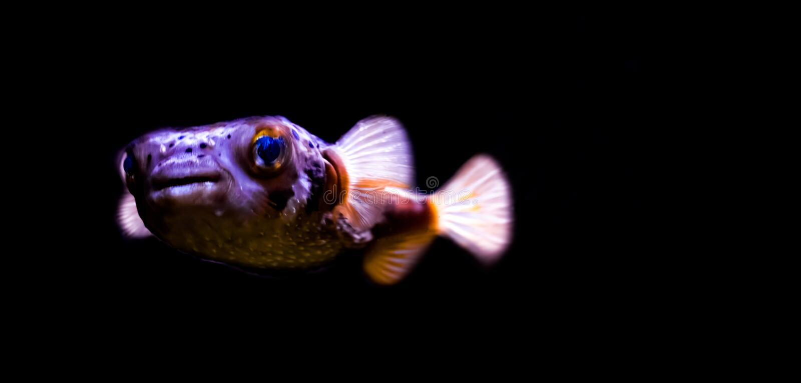 Beautiful porcupine fish in closeup, isolated on a black background, tropical fish from the indian ocean royalty free stock images