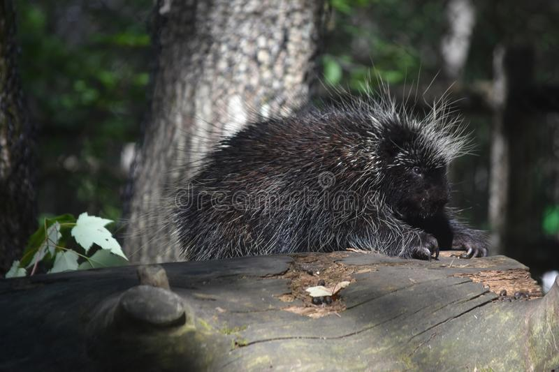 Beautiful porcupine with large black and white quills royalty free stock images