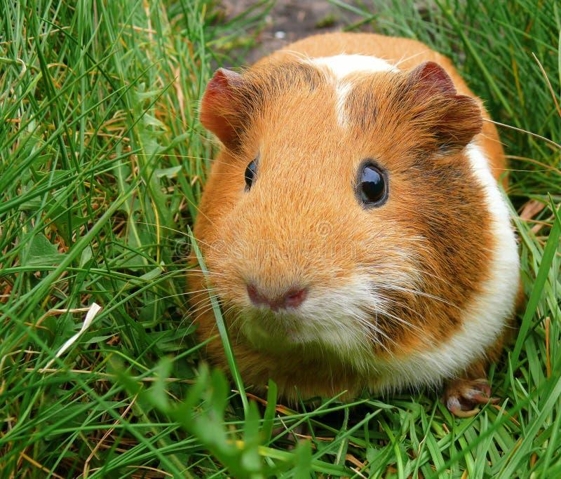 Portrait of orange guinea pig on green grass background stock photos