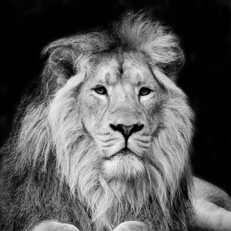 Beautiful portrait of Asiatic Lion Panthera Leo Persica in black. Beautiful black and white portrait of Asiatic Lion Panthera Leo Persica stock image
