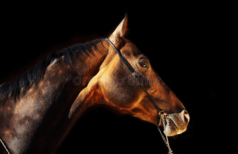 Beautiful portrait of bay purebred akhal-teke stallion at black stock photo