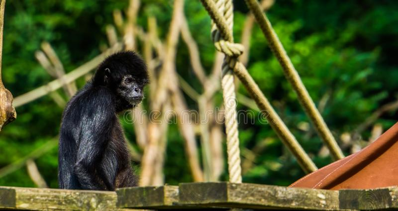 Beautiful portrait of a black headed spider monkey, critically endangered animal specie from South america. A beautiful portrait of a black headed spider monkey stock images