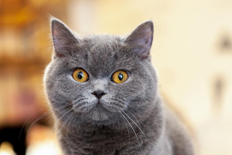 Beautiful portrait of a British Shorthair lilac. the cat looks and waits. playful cat waiting for a toy. For decoration and design royalty free stock image