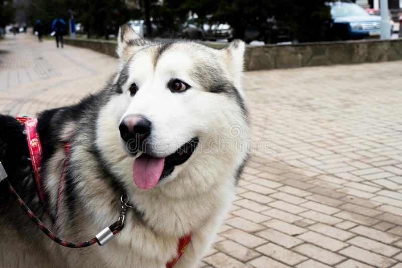 Beautiful portrait of a dog. Siberian Laika. Beautiful husky. The dog is man`s best friend royalty free stock photos