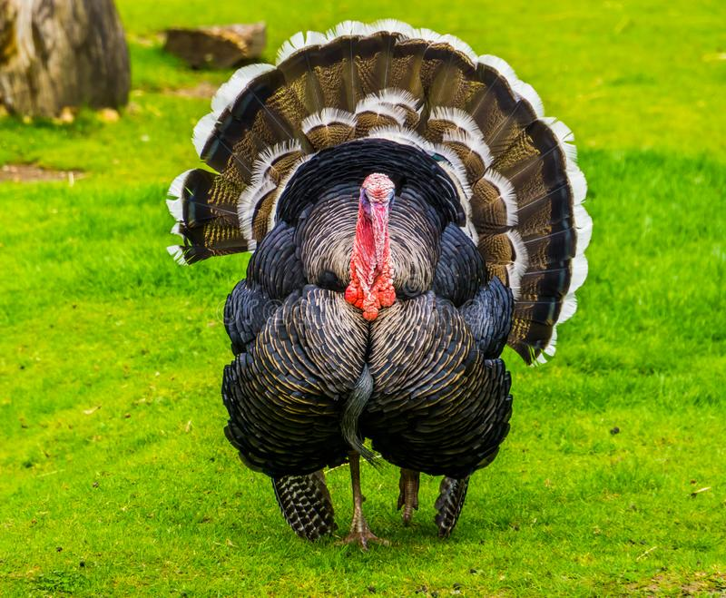 Beautiful portrait of a domestic turkey spreading its feathers, popular ornamental bird specie, animal farm pet from Mexico and stock image