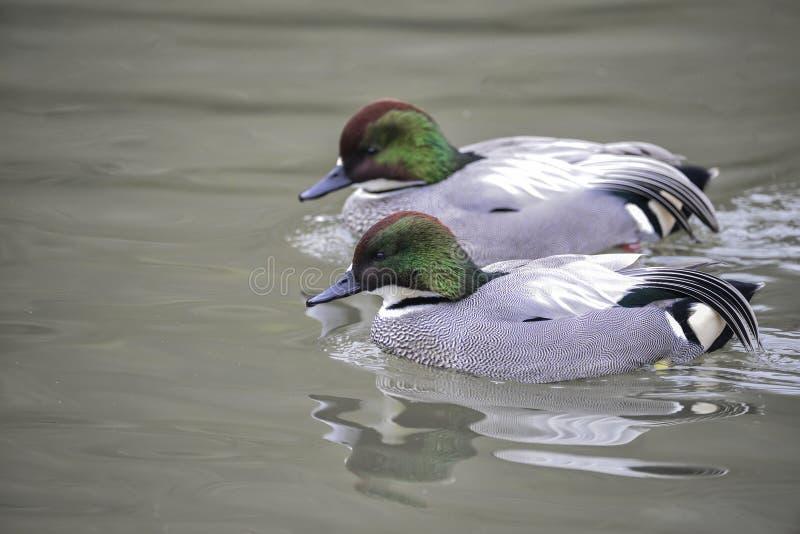 Beautiful portrait of Falcated Duck Anas Falcata bird on water i stock photo
