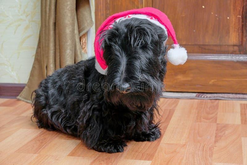 Funny naughty dog in Santa hat royalty free stock photos
