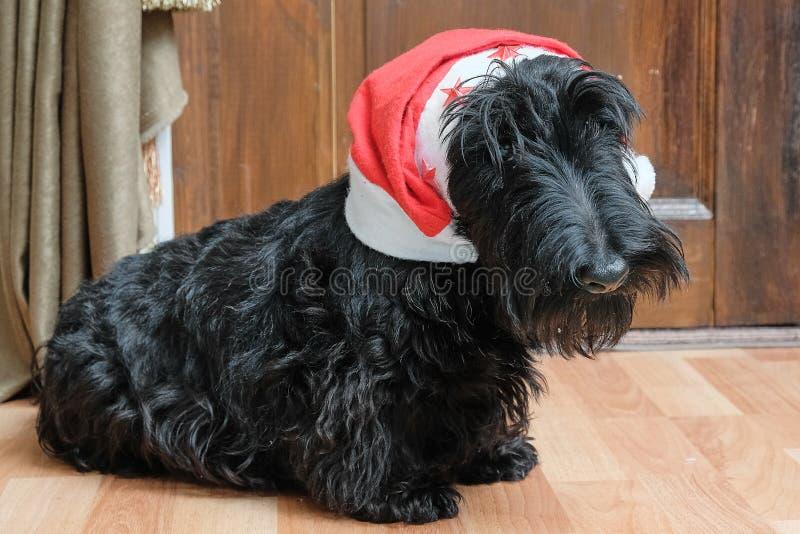 Funny naughty dog in Santa hat royalty free stock image