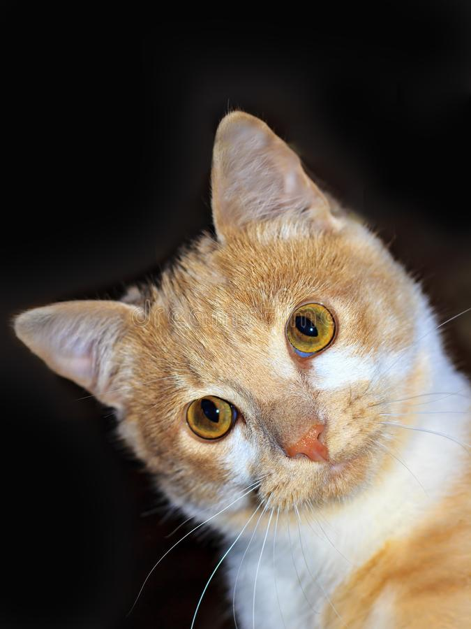 Beautiful portrait of a Ginger Red Cat royalty free stock image