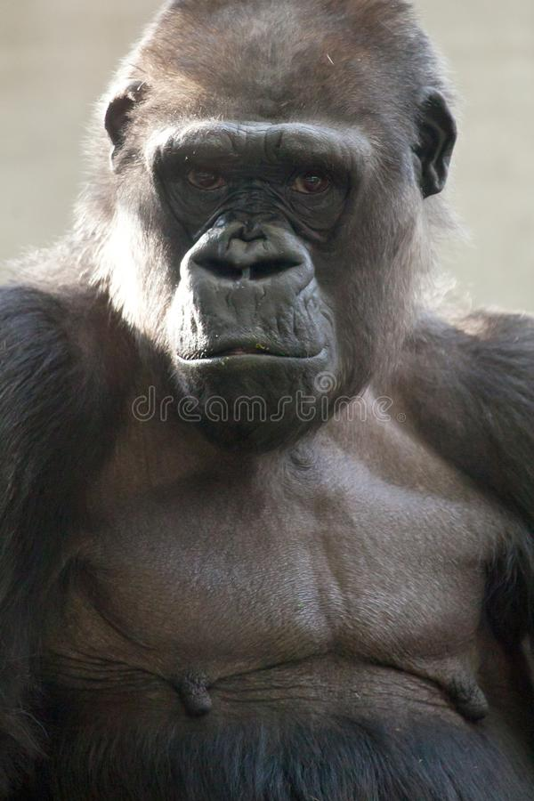 Beautiful Portrait of a Gorilla. Male gorilla on black background, severe silverback anthropoid ape.  royalty free stock photos