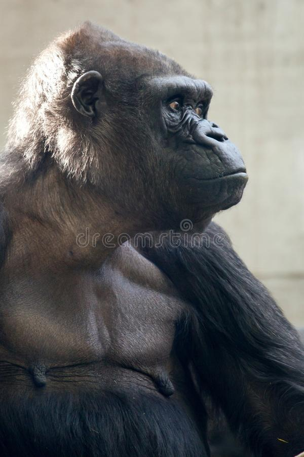 Beautiful Portrait of a Gorilla. Male gorilla on black background, severe silverback anthropoid ape.  royalty free stock photo