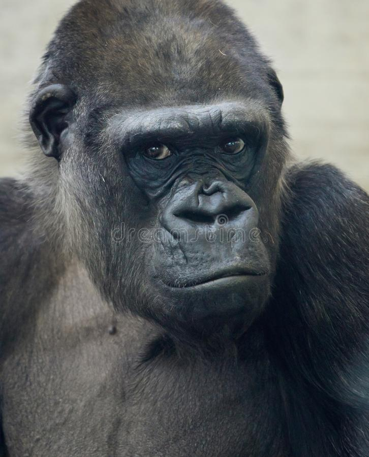 Beautiful Portrait of a Gorilla. Male gorilla on black background, severe silverback anthropoid ape.  stock image