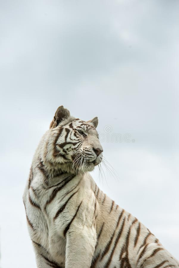 Beautiful portrait image of hybrid white tiger Panthera Tigris i. Stunning portrait image of hybrid white tiger Panthera Tigris in vibrant landscape and foliage royalty free stock photos