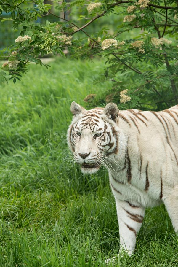 Beautiful portrait image of hybrid white tiger Panthera Tigris i. Stunning portrait image of hybrid white tiger Panthera Tigris in vibrant landscape and foliage stock photo