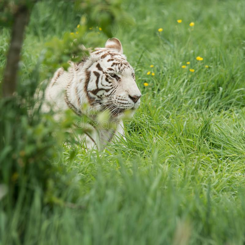 Beautiful portrait image of hybrid white tiger Panthera Tigris i. Stunning portrait image of hybrid white tiger Panthera Tigris in vibrant landscape and foliage stock photos