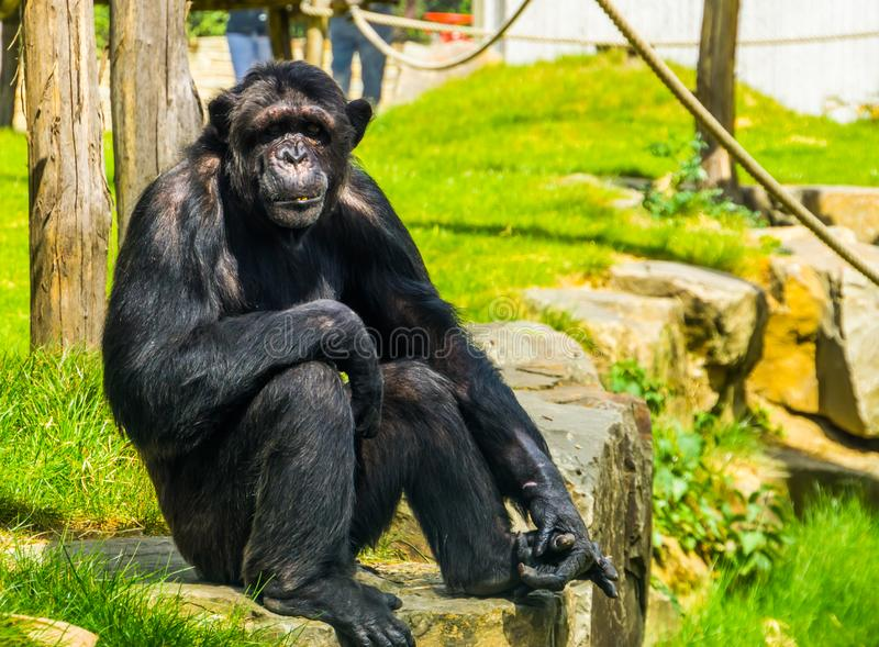 Beautiful portrait of a large adult chimpanzee, tropical monkey from Africa, Endangered animal specie. A beautiful portrait of a large adult chimpanzee, tropical royalty free stock photos