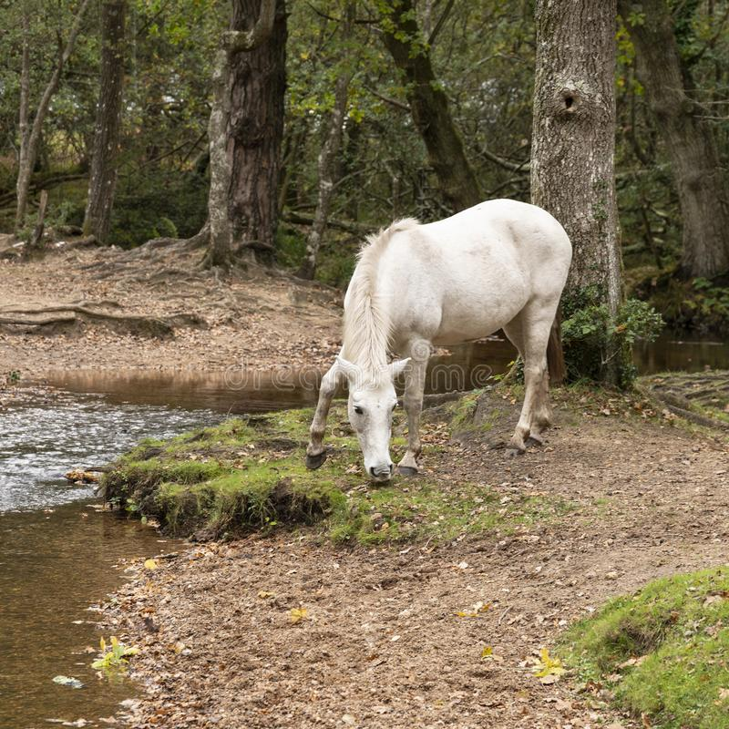 Beautiful portrait of New Forest pony in Autumn woodland landscape with vibrant Fall color all around stock images