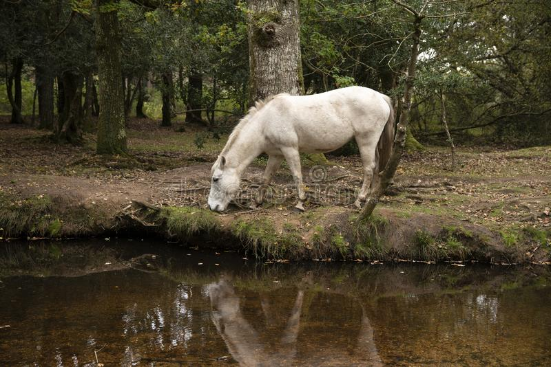 Beautiful portrait of New Forest pony in Autumn woodland landscape with vibrant Fall color all around stock photography