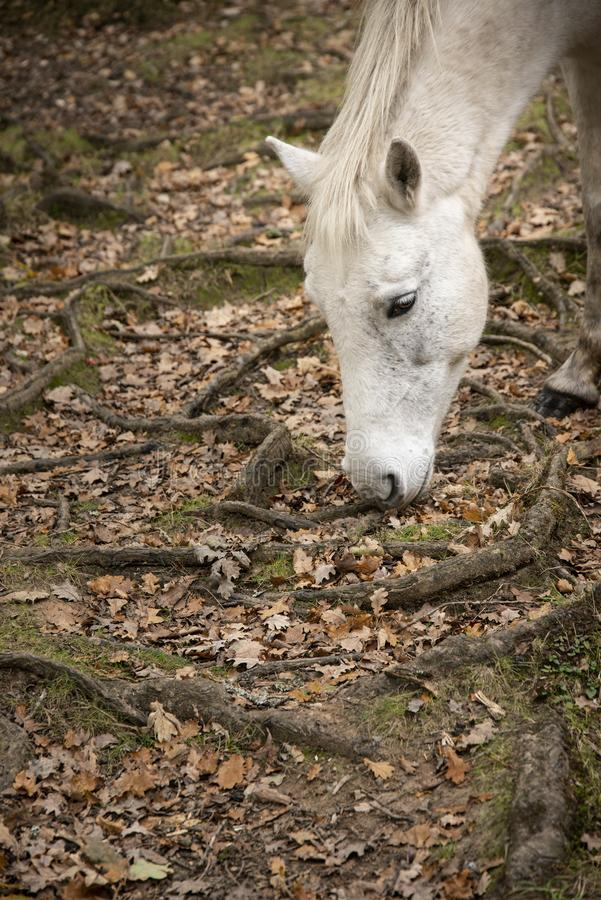 Beautiful portrait of New Forest pony in Autumn woodland landscape with vibrant Fall color all around stock photos