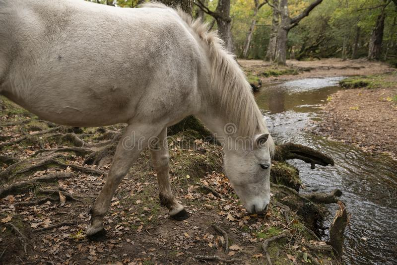 Beautiful portrait of New Forest pony in Autumn woodland landscape with vibrant Fall color all around royalty free stock image