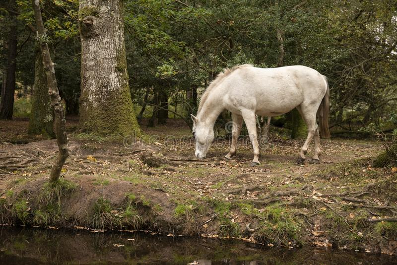 Beautiful portrait of New Forest pony in Autumn woodland landscape with vibrant Fall color all around stock image