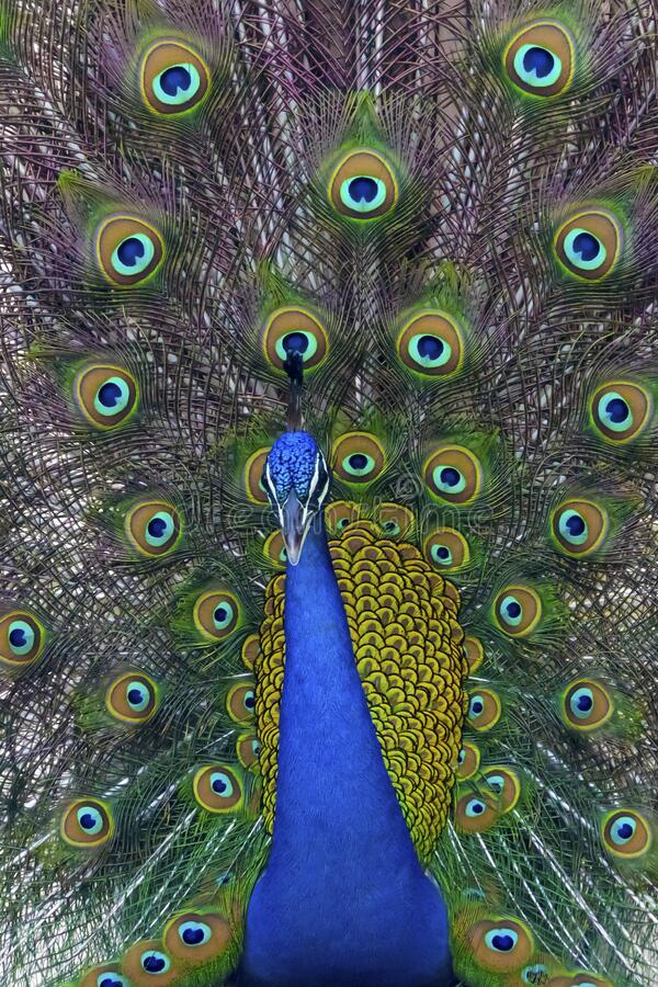 Free Beautiful Portrait Of A Peacock Spreading Feathers Stock Photo - 176375080