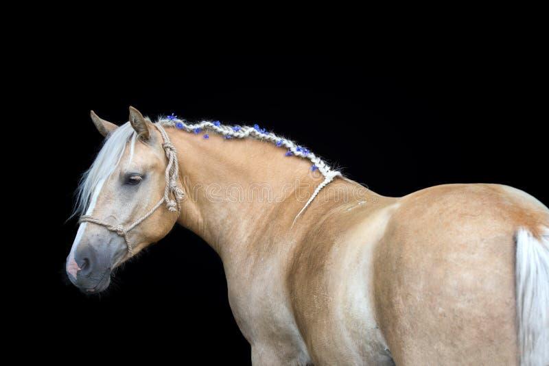Portrait of a Palomino horse on black background. Beautiful portrait of a Palomino horse with braided mane on black background stock photos
