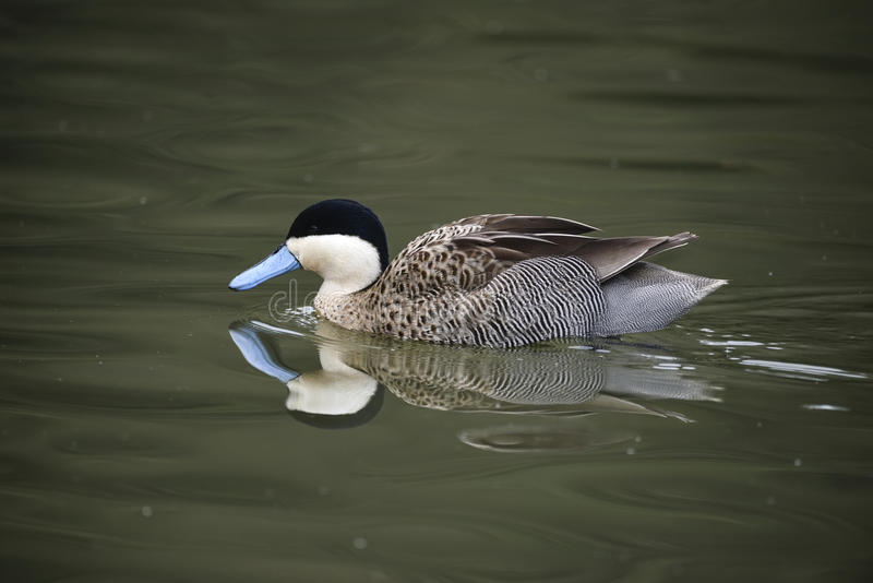 Beautiful portrait of Puna Teal Anas Puna duck bird on water in stock images