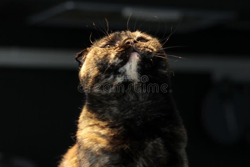 Beautiful portrait of a Scottish fold cat dark or tortoiseshell color on a dark background, lighting warm light. royalty free stock image