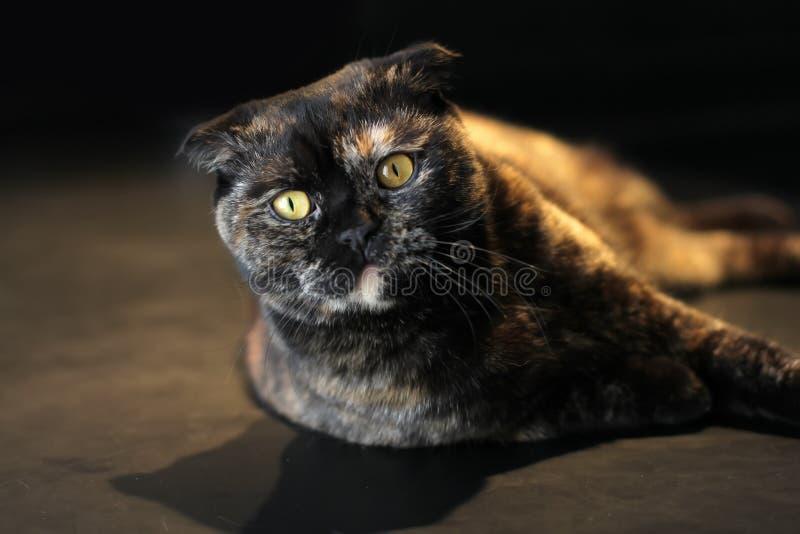 Beautiful portrait of a Scottish fold cat dark or tortoiseshell color on a dark background, lighting warm light stock photo
