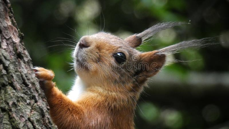 Beautiful portrait of squirrel royalty free stock image