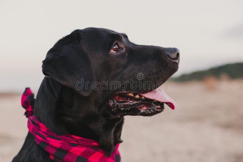 Beautiful portrait of Stylish black labrador dog with red and black plaid bandana sitting on the ground. Pets outdoors. Modern. Lifestyle stock photography
