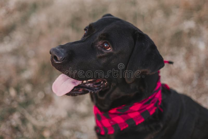 Beautiful portrait of Stylish black labrador dog with red and black plaid bandana sitting on the ground. Pets outdoors. Modern. Lifestyle stock images
