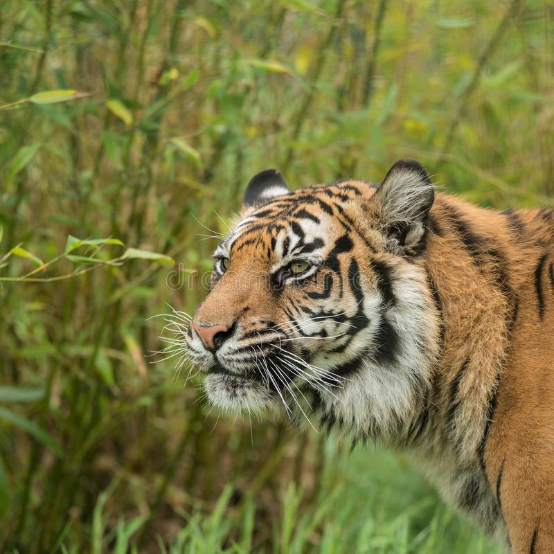 Beautiful portrait of tiger Panthera Tigris walking through long. Stunning portrait of tiger Panthera Tigris walking through long grass in vibrant landscape royalty free stock images