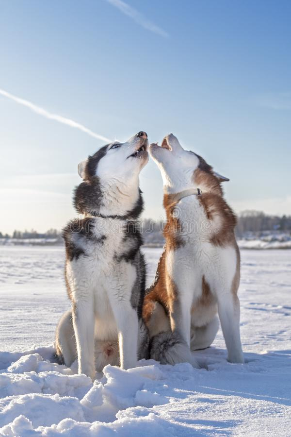 Beautiful portrait of two husky dogs on white snow. Muzzle howling dog. Winter sunny snowy landscape royalty free stock photo