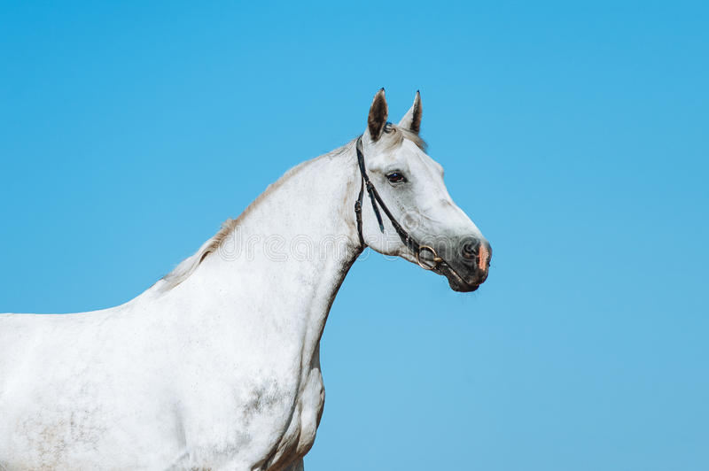 Beautiful portrait of a white horse on a background of the dark sky stock photo
