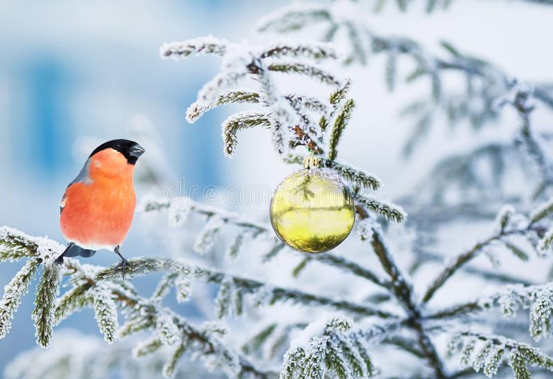 postcard with a bright bird bullfinch sitting on a bra royalty free stock image