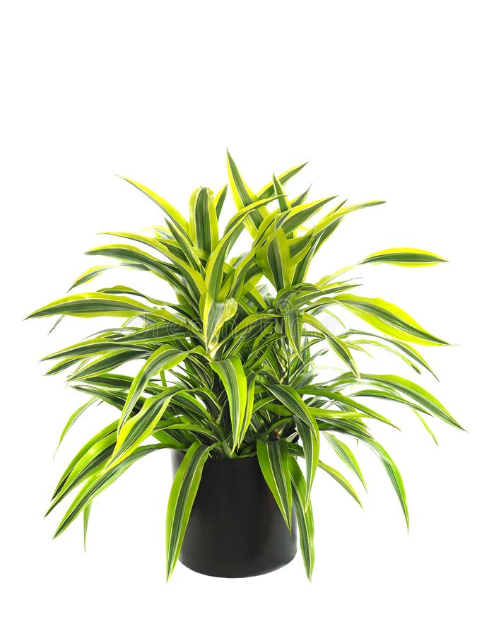 Potted Dracaena Warneckii, Lemon Lime Variety, Isolated on White. Beautiful Potted Compact Dracaena Warneckii Variegate, Lemon Lime Variety Isolated on White royalty free stock photography