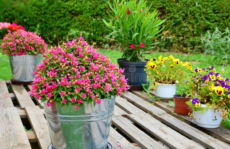 Beautiful Potted Flowers in the Garden royalty free stock photography