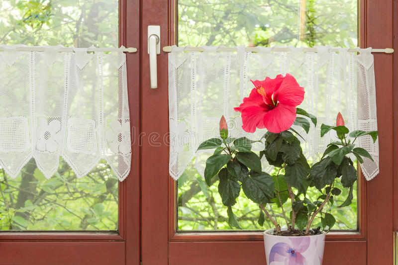 Beautiful Potted Red Hibiscus Flower On Window Sill Stock