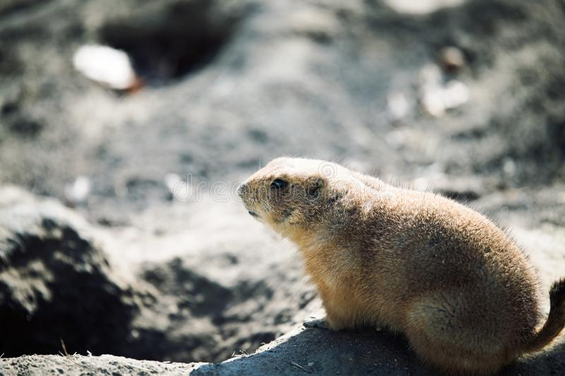 Beautiful prarie dog alert and waiting stock photo