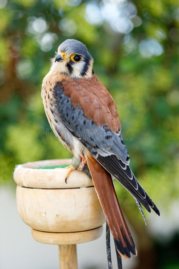 Beautiful profile of a kestrel royalty free stock photography