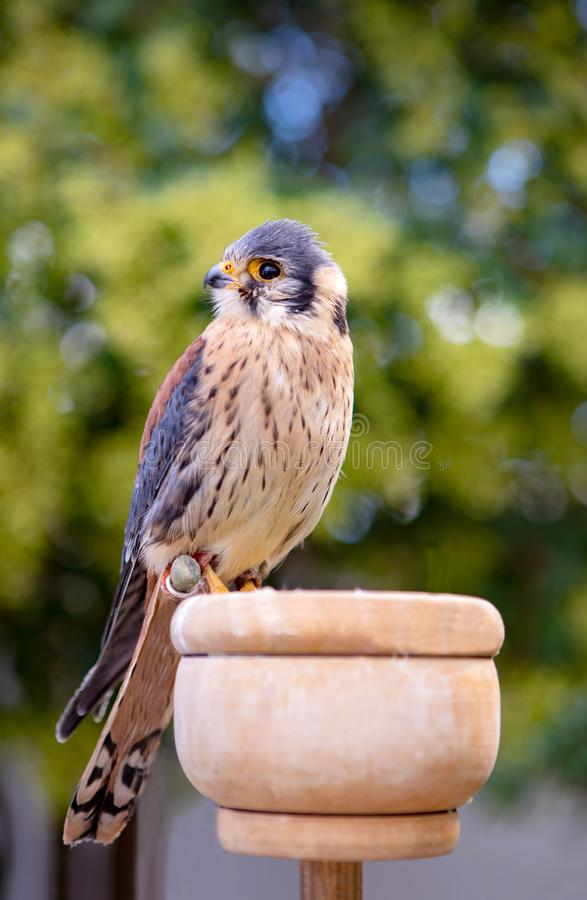 Beautiful profile of a kestrel. In captivity royalty free stock image