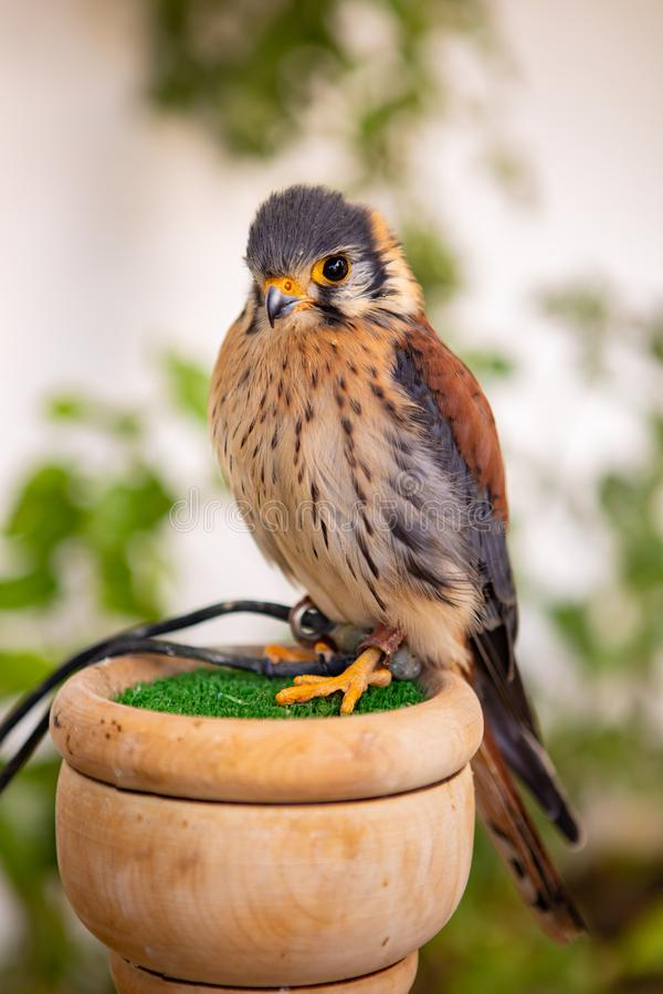 Beautiful profile of a kestrel royalty free stock image