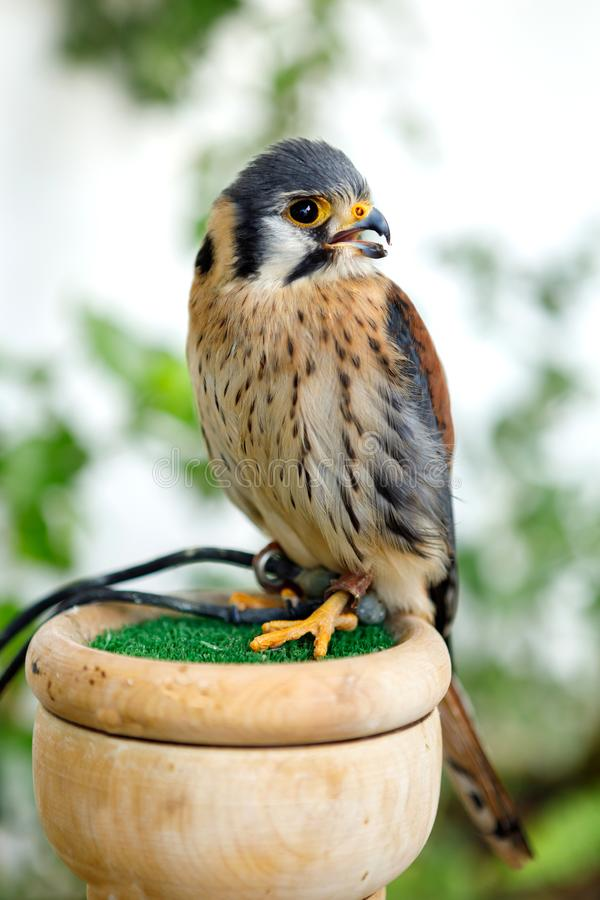 Beautiful profile of a kestrel royalty free stock images