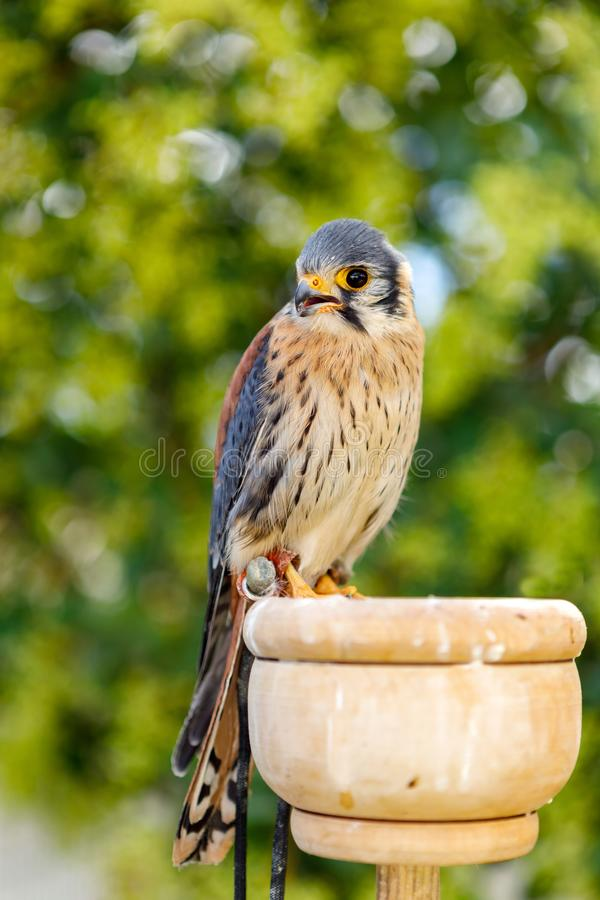 Beautiful profile of a kestrel stock photography