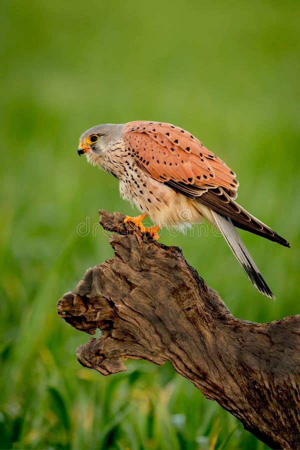 Beautiful profile of a kestrel in the nature stock photo